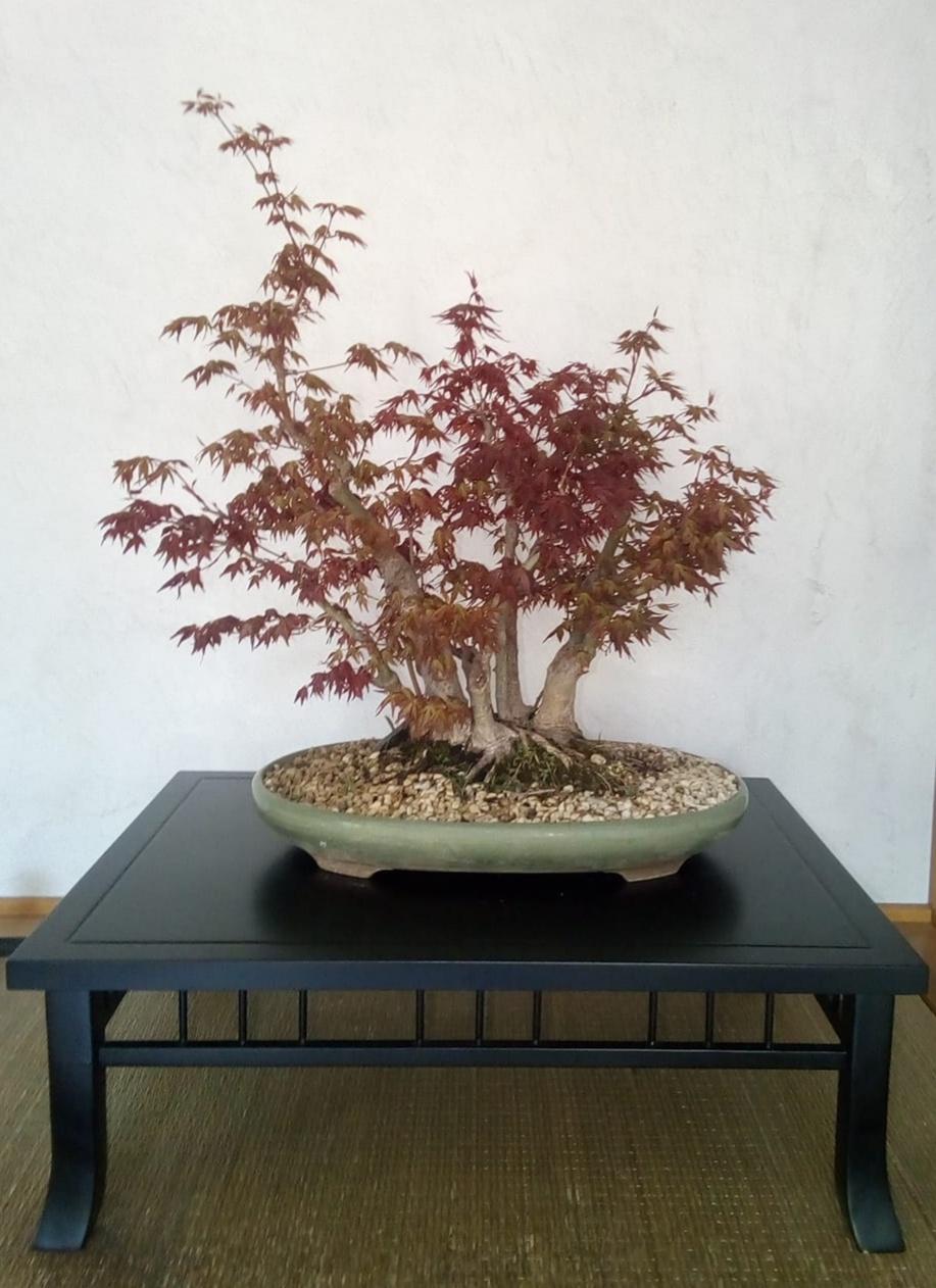 Acer palmatum - Corso Bonsai