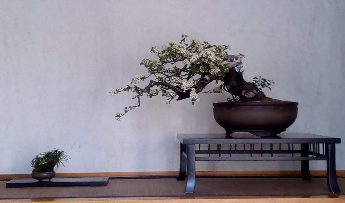 Prunus mahaleb - Corso Bonsai